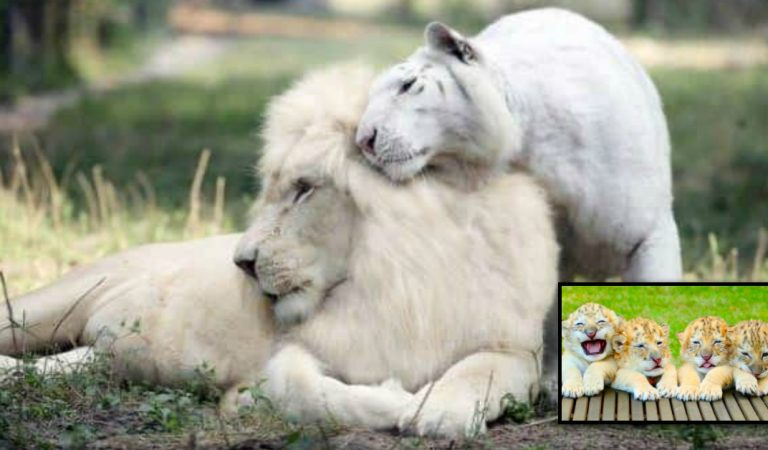 This white lion and tiger breed is the best and the only one in the world.