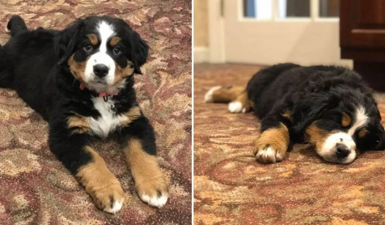 Therapy Puppy Hired From A Funeral Home To Help Grieving Families.