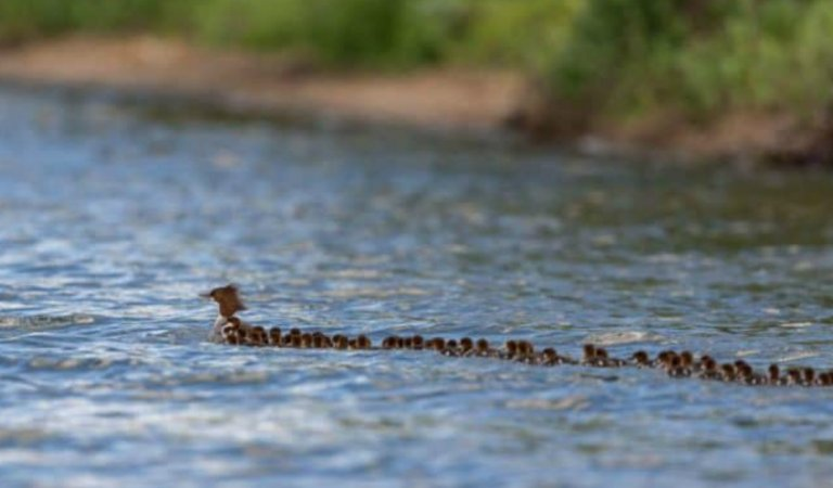 Mom Duck Carrying 76 of Her Kids Is Driving People Crazy.