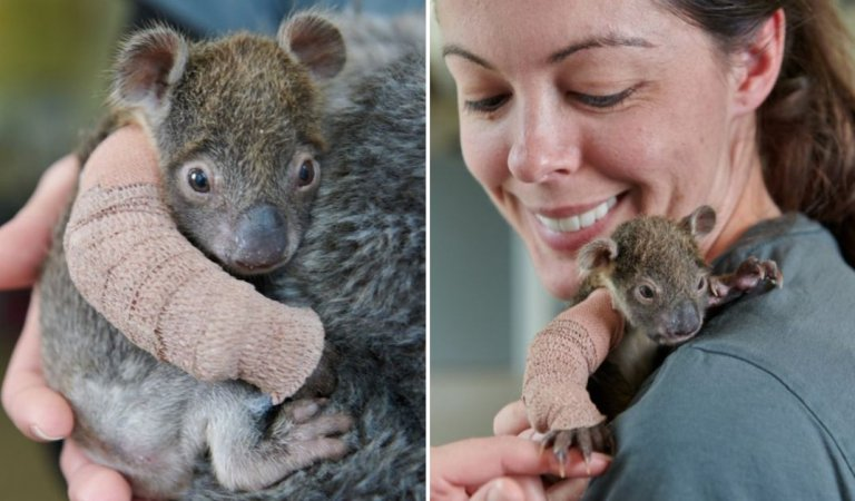 Sweet baby koala gets an arm cast after falling off of a tree