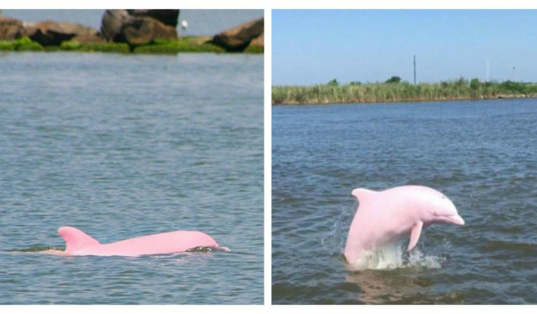 Pink Dolphins Are Endangered Species, But Thank God This One Gave Birth To Her Calf