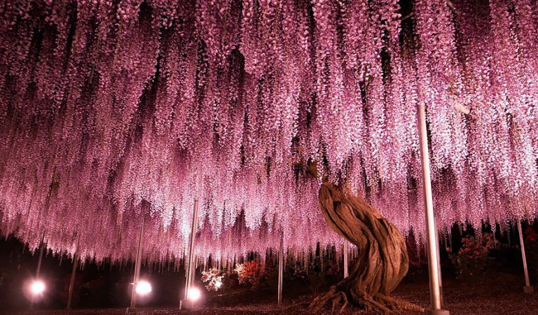 Stunning Wisteria vines will take your breath away